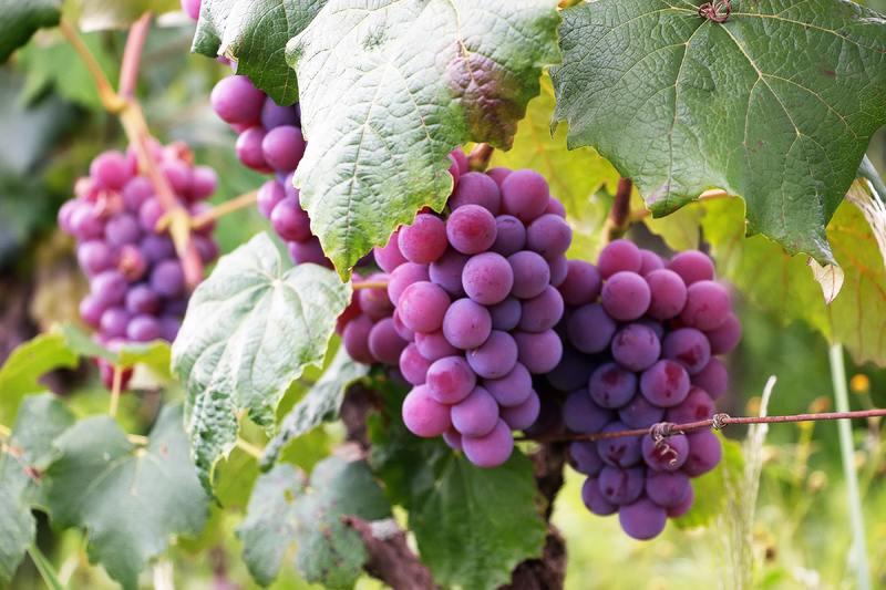 uvas-en-arbol