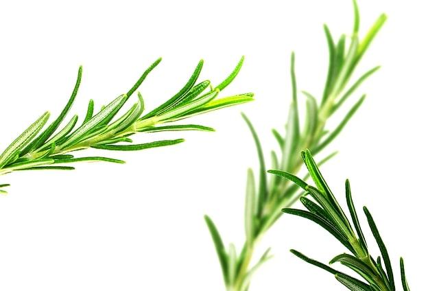 planta-de-romero